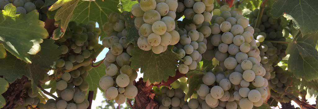 Ripe Viognier grapes on the vine